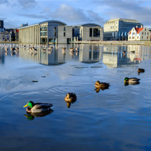 Ducks on the pond in central Reykjavík