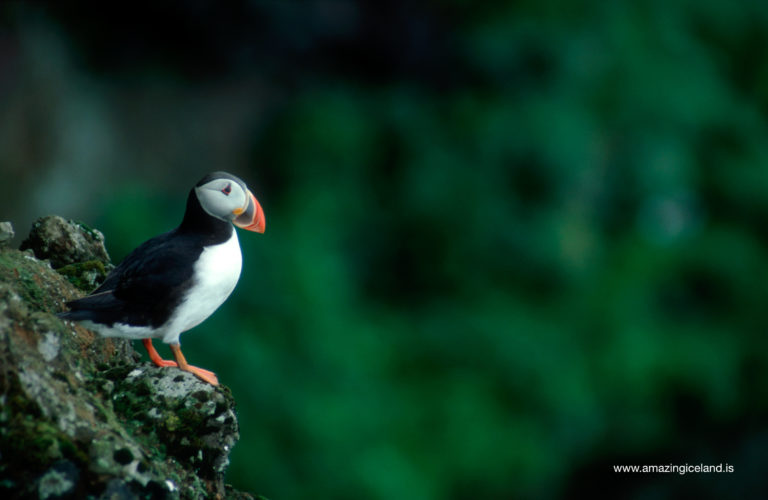 Puffin in Dyrholaey island in south Iceland