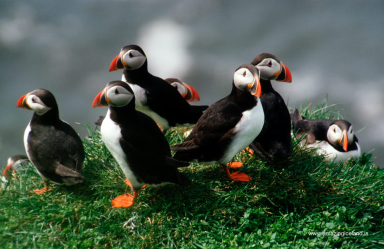 Puffins in Dyrholaey south Iceland