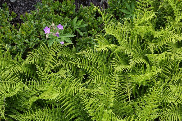 Plants in Búðarhraun