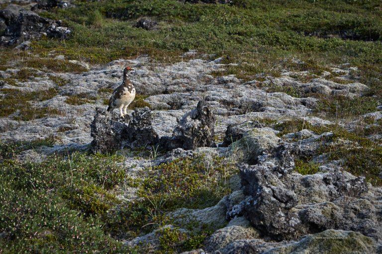 Rock Ptarmigan in Snæfellsnes
