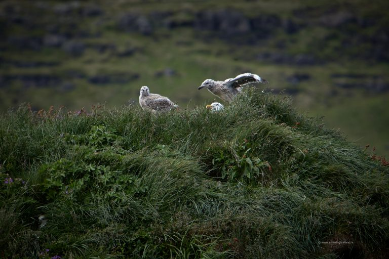 Young gulls trying to fly in Snæfellsnes Iceland