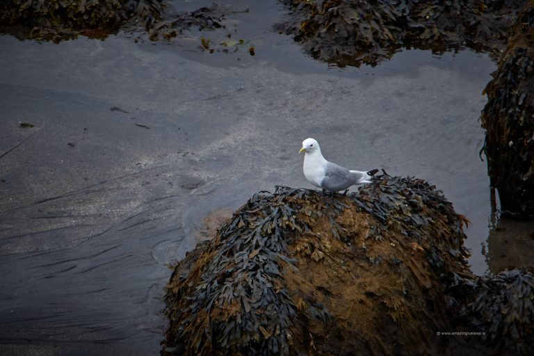 Seagull sitting on seaweed in Snæfellsnes Iceland