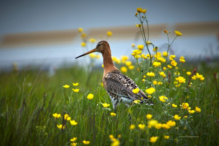 Black-tailed Godwit in Snæfellsnes Iceland