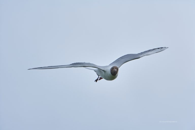 Blackheaded gull in Snæfellsnes Iceland