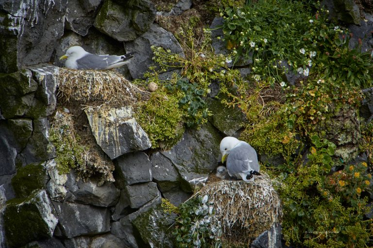 Nesting gull with egg and youngs in Snæfellsnes Iceland