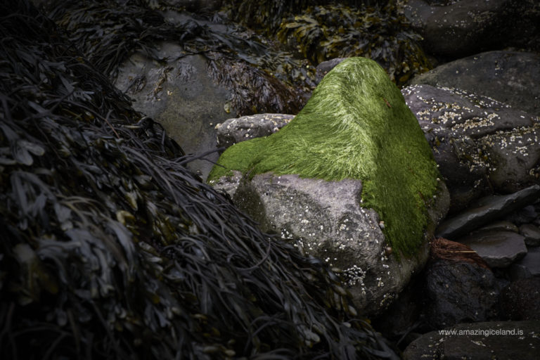 Green moss and see weed on beach stones in Snæfellsnes Iceland